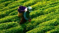 Çaykur'a Geçici 1500 İşçi Alınacak